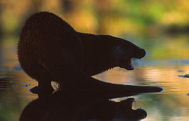 Silhouette of European river otter snarling (Lutra lutra) Netherlands  -  Niall Benvie/ npl