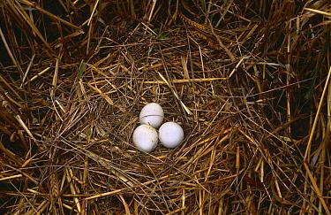 Montagu's harrier (Circus pygargus) eggs in nest, Spain  -  Jose Luis Gomez De Francisco/ np