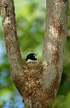 Rufous vanga (Schetba rufa) male on nest, Western Dry Forest, Madagascar  -  Pete Oxford/ npl