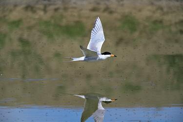 Forster's tern {Sterna forsteri} flying over Bear River, Utah, USA  -  Shattil & Rozinski/ npl