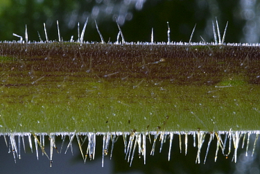 Close up of Stinging Tree stem (Laportea gigas or Dendrocnide excelsa) Contact with the leaves or twigs causes the hollow silica-tipped hairs to penetrate the skin Australia  -  Jurgen Freund/ npl