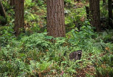 Raccoon foraging during the day (Procyon lotor) Washington, USA  -  Michael Durham/ npl