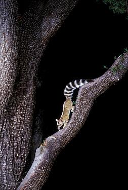 Ringtail cat (Bassariscus astutus) Coronado NF, Arizona, USA  -  Michael Durham/ npl