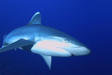 Silvertip shark (Carcharhinus albimarginatus) Papua New Guinea  -  Brent Hedges/ npl