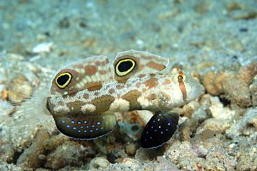 Crab eyed, Twin spot goby (Signigobius biocellatus) Papua New Guinea  -  Brent Hedges/ npl