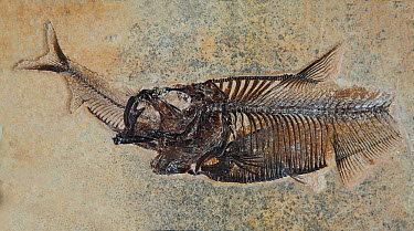 Fossil fish, Diplomystus dentatus- eating Knightia eocaena, Fossil Butte NM,  -  Jeff Vanuga/ npl