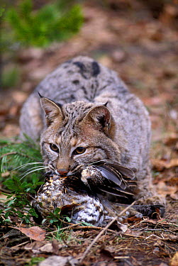 Male Bobcat feeding on grouse (Felis rufus) captive, USA  -  Michael Durham/ npl