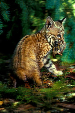 6-week-old Bobcat kitten with rodent prey in rehab centre (Felis rufus) Oregon, USA  -  Michael Durham/ npl