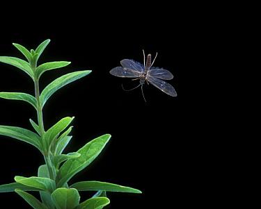 A Microlepidoptera moth in flight (wingspan 6, 10mm) night, Oregon, USA  -  Michael Durham/ npl