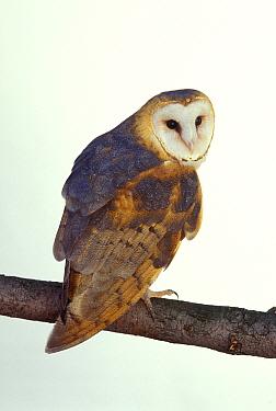 Barn owl (Tyto alba) captive, USA  -  Michael Durham/ npl