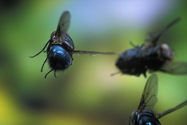 Blowflies in flight (Calliphoridae) Oregon, USA  -  Michael Durham/ npl