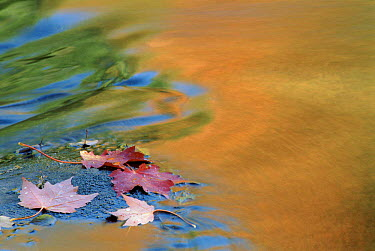 Sugar Maple leaves in water with autumn coloured reflections USA  -  Larry Michael/ npl