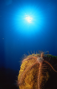 Brittle star on sponge (Ophiothrix suensonii) Caribbean  -  Jurgen Freund/ npl