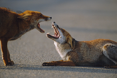 Two dominant male urban Red foxes fighting on road, mouths open {Vulpes vulpes} London, UK  -  Laurent Geslin/ npl