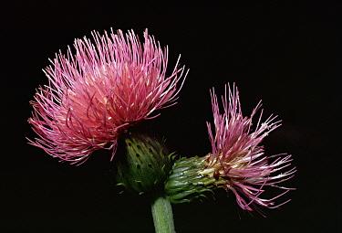 Portrait of a Melancholy thistle (Cirsium helenoides) UK  -  Duncan McEwan/ npl