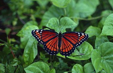 Viceroy butterfly (Limenitis archippus) mimics poisonous Monarch butterfly, Florida, USA  -  Adrian Davies/ npl