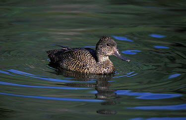 Freckled duck, female (Stictonetta naevosa) Australia  -  Dave Watts/ npl