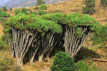 Dragon trees with bushy growth (Dracaena draco) La Palma, Canary Islands  -  Martin Gabriel/ npl