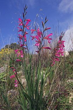 Gladiolus in flower, Crete, Greece  -  Nick Upton/ npl