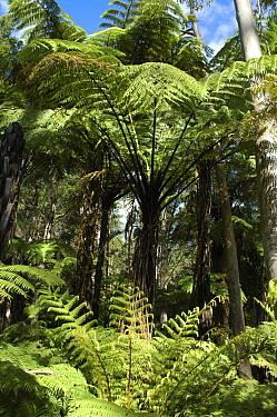 Black tree fern (Cyathea medullaris) in Eucalyptus forest, North Is, New Zealand  -  Adam White/ npl