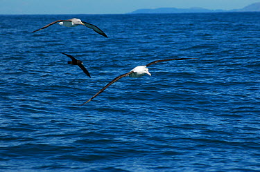 New Zealand albatross (Diomedea antipodensis), Salvins albatross (Thalassarche salvini) and White- chinned petrel (Procellaria aequinoctialis) in flight, New Zealand  -  Adam White/ npl
