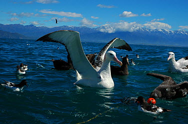 New Zealand albatross (Diomedea antipodensis), Cape petrel (Daption capense) and Northern Giant Petrel (Macronectes halli) at fishing net, waiting to feed on caught fish, Kaikoura, New Zealand  -  Adam White/ npl
