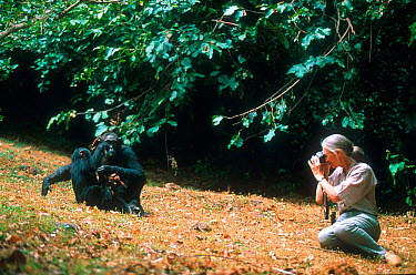 Jane Goodall photographing Chimpanzees in Gombe, Tanzania 1994, 30th anniversary of Jane Goodall's work with chimps  -  Karl Ammann/ npl