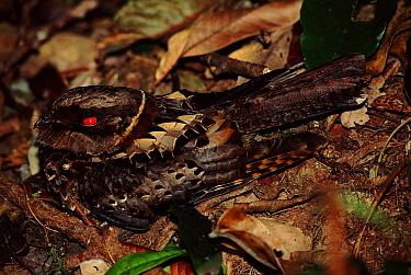 Madagascar nightjar camouflaged on forest floor on forest floor Mantadia NP, Madgascar  -  Nick Garbutt/ npl