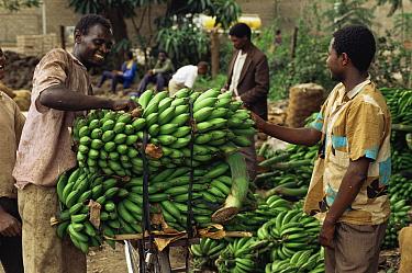 Matoke, Plantains (food bananas) transported by bicycle to market, Lake Manyara, Tanzania, East Africa  -  Staffan Widstrand/ npl