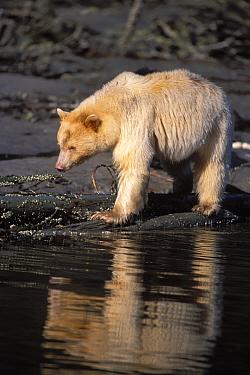 Spirit, Kermode bear (Ursus americanus kermodei) sow looking into stream, Central British Columbia, Canada  -  Steven Kazlowski/ npl