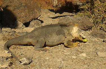 Land Iguana feeding on cactus fruit (Conolophus subcristatus) South Plaza Island, Galapagos  -  Pete Oxford/ npl