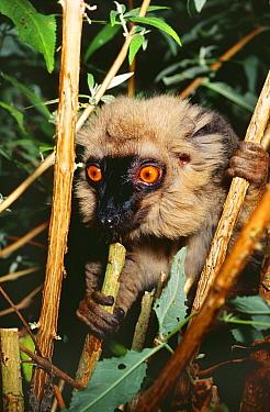 Sanford's brown lemur (Eulemur fulvus sanfordi) captive, from Madagascar  -  Rod Williams/ npl