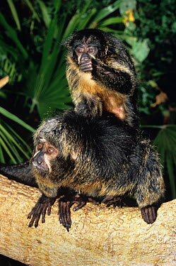 White faced saki monkey (Pithecia pithecia) with young, captive, from South America  -  Rod Williams/ npl