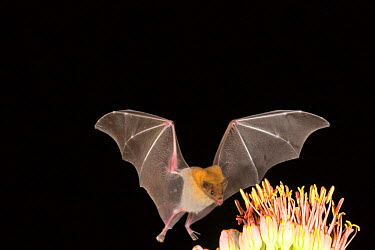 Lesser long-nosed bat (Leptonycteris curasoae) feeding on nectar of Agave plant, Endangered in the USA, Chiricahua mts, Arizona, USA  -  Barry Mansell/ npl