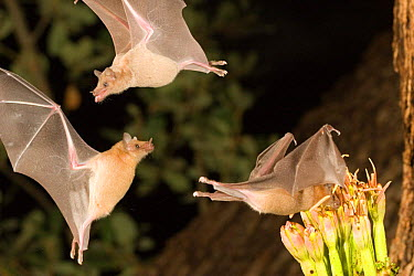 Lesser long-nosed bats (Leptonycteris curasoae) feeding on nectar of Agave plant, Endangered in the USA, Chiricahua mts, Arizona, USA  -  Barry Mansell/ npl