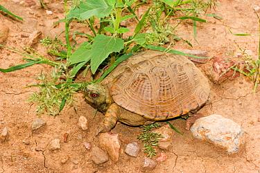 Ornate, Western Box Turtle (Terrapene ornata) Arizona, USA  -  Barry Mansell/ npl