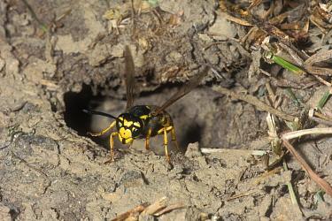 Common wasp leaving underground nest (Vespula vulgaris) Belgium  -  Philippe Clement/ npl