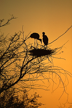 Painted Stork (Ibis leucocephalus) pair in tree silhouetted at Sunset,Keoladeo Bharatphur NP, India  -  Pete Oxford/ npl