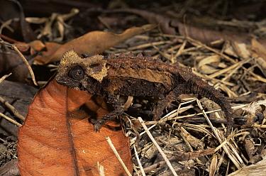 Stump-tailed Chameleon (Brookesia permeata) Madagascar  -  Pete Oxford/ npl