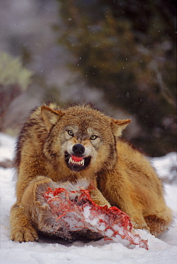 Grey wolf (Canis lupus) snarling over carcase in snow C  -  David Welling/ npl