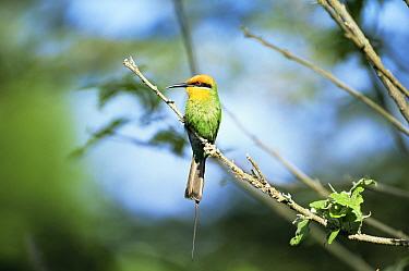 Adult Boehm's bee-eater (Merops boehmi) Shire River, Liwonde NP, Malawi  -  Nick Garbutt/ npl
