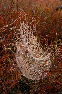 Spider web covered in dew, Wisconsin, USA  -  Larry Michael/ npl