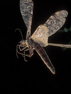 Female Dobsonfly flying (Dysmicohermes disjunctus) Washington USA  -  Michael Durham/ npl