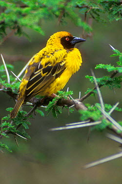 Village, Spotted backed weaver (Ploceus cucullatus) Kruger NP South Africa  -  Philippe Clement/ npl