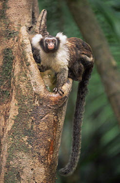 Maues marmoset (Mico, Callithrix pygmaea) in rainforest, Amazonia, Brazil  -  Nick Gordon/ npl