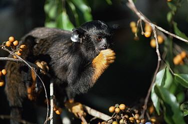 Red handed tamarin (Saguinus midas) feeding in tree, Amazonia, Brazil  -  Nick Gordon/ npl