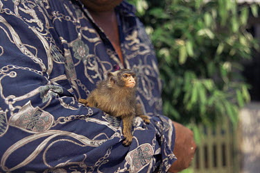 Man with captive Maues marmoset (Callithrix mauesi) Amazonia, Brazil  -  Nick Gordon/ npl