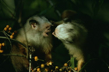 Satare maues marmoset looking into another one's mouth (Callithrix mauesi satare) Amazonia, Brazil  -  Nick Gordon/ npl