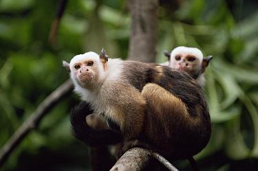 Satare maues marmosets (Callithrix mauesi satare) Amazonia, Brazil  -  Nick Gordon/ npl
