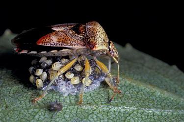 Parent Bug guards newly hatched nymphs (Elasmucha grisea) on Birch tree leaf  -  Duncan McEwan/ npl